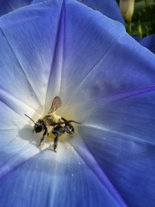 Morning glory with bee