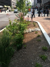 DC urban rain garden: looking south